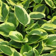 Hosta 'Clifford's Forest Fire' (Funkia) - hosta_clifford_s_forest[1].jpg